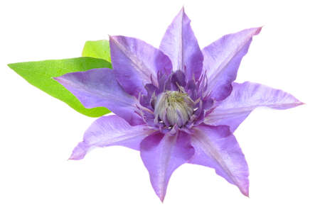clematis flower: Purple clematis flower with leaves isolated on a white