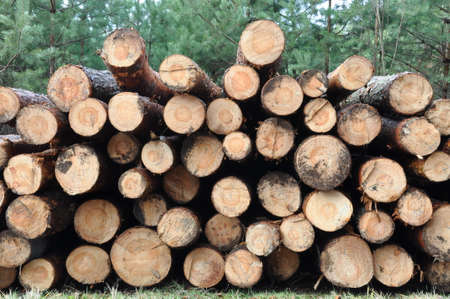 felled: Tree felled in the forest product for the timber industry