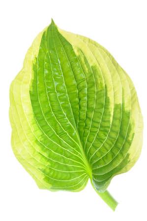 hostas: Hostas single leaf decoration isolated on white
