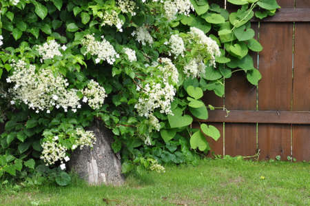 Hydrangea vine on tree on background wooden fence photo