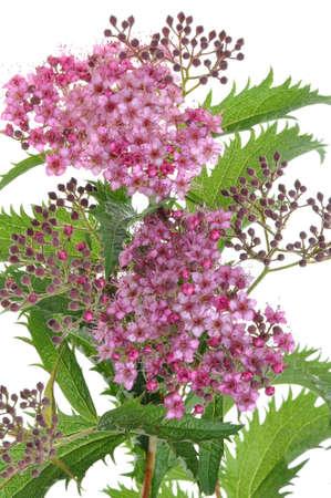 Spiraea flower isolated on white background photo