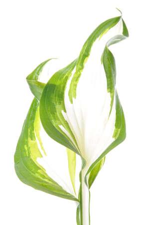 Hosta leaf isolated on white background  photo