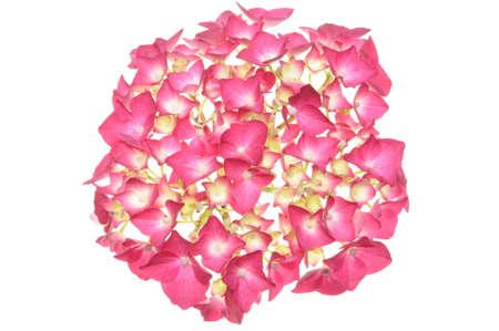 Head pink hydrangea flower isolated on white background  photo