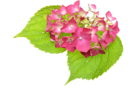 Pink hydrangea flower with green leaves isolated on a white  photo