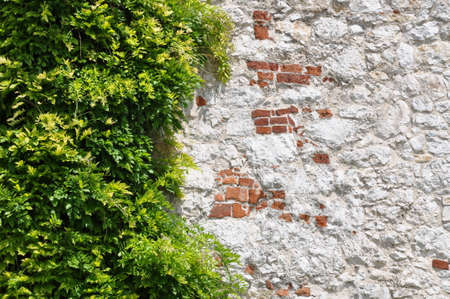 Ivy leaves on wall as natural background  photo