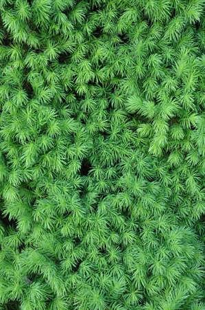 hostas: Fresh spring leaves of hostas plant in the garden