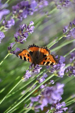 lavanda: Butterfly on a lavender flowers