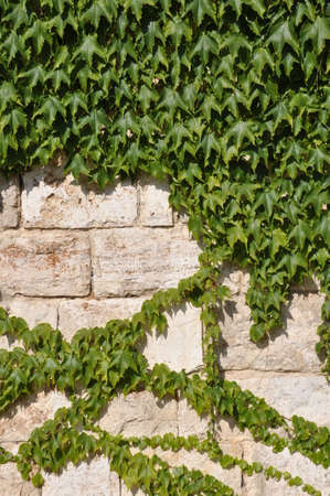 ivy wall: Green ivy plants covering stone wall Stock Photo