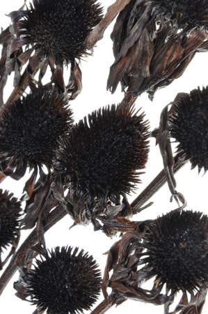 dreary: Black overblown flowers isolated on white background, a symbol of beauty passed Stock Photo