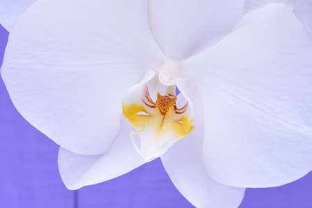 violet background: White orchid flowers on a violet wooden background