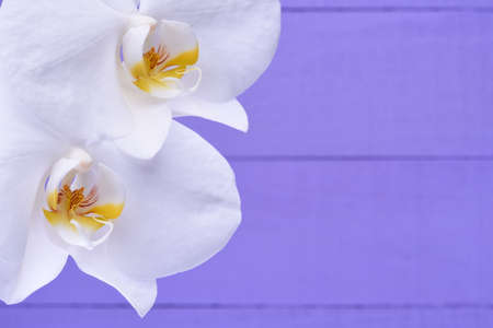 background purple: White orchid flowers on a violet wooden background
