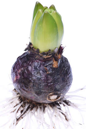 bulb and stem vegetables: Closeup of hyacinth bulb Stock Photo