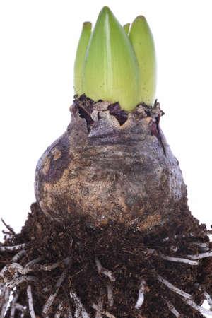 bulb and stem vegetables: Closeup of hyacinth bulb Stock Photo