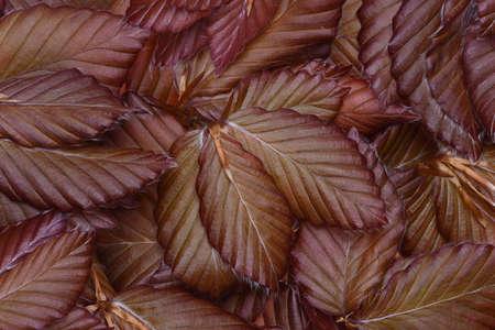 Beech leaves background 版權商用圖片