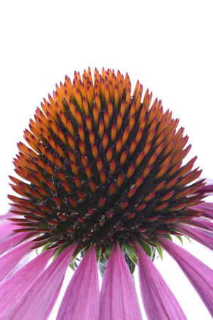 coneflower: Coneflower macro isolated on white background