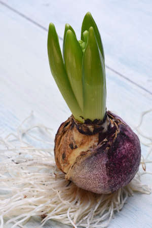 flower bulb: Hyacinth flower bulb with roots on wooden background