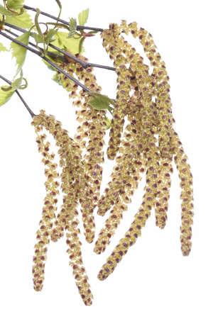Birch twig with catkin on white background allergy season