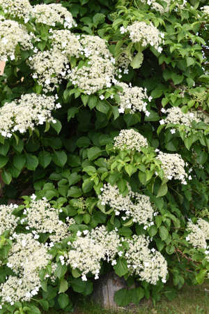 Climbing hydrangea in the garden