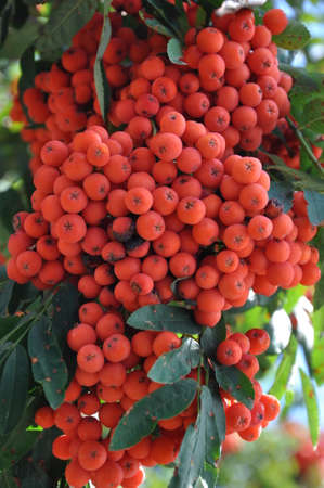 Fruits of rowan berries mountain ash tree