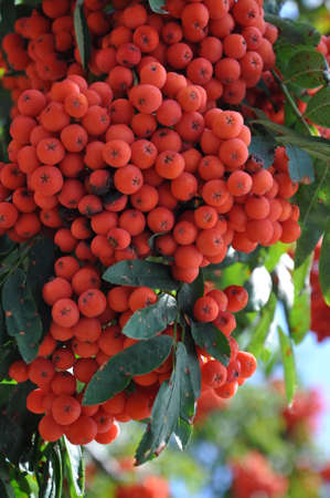 Fruits of rowan berries mountain ash tree