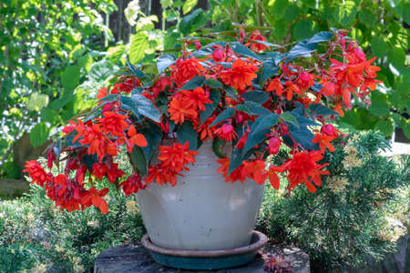 Flower pot with blooming red fuchsia in green garden