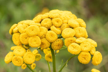 Tanacetum vulgare, wild yellow meadow flower head close-up Banque d'images