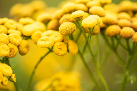 Green meadow with yellow common tansy wild flowers