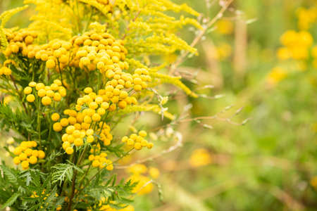 Green meadow with yellow flowers common tansy