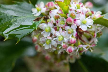 Macro flower of holly bush spring time in garden