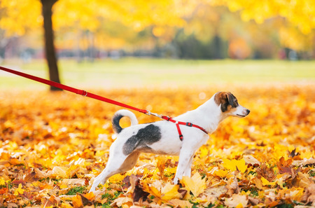 Closeup on dog on leash outdoors in autumn
