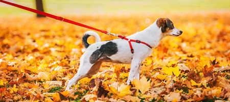 Closeup on dog on leash outdoors in autumn photo