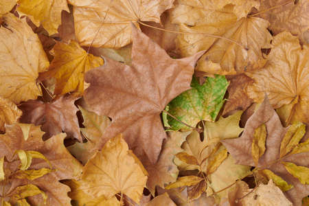 Hello october. autumn background with leaves and chestnuts on white background.