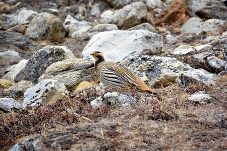 nepali: Tibetan Snowcock (Tetraogallus tibetanus) - beautiful bird living at the high altitude in the Himalayan mountains, Nepal