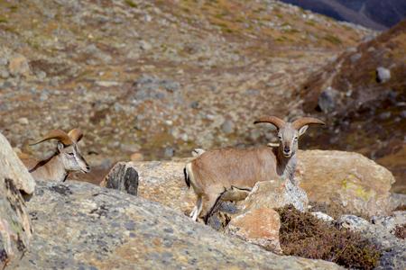 tibetian: Two himalayan blue sheeps on the way to Kangchenjunga base camp, Nepal