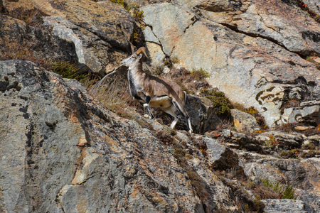 Bharal (known as blue sheep) jumping on the hillside of Himalaya Mountains, Nepal Stock fotó
