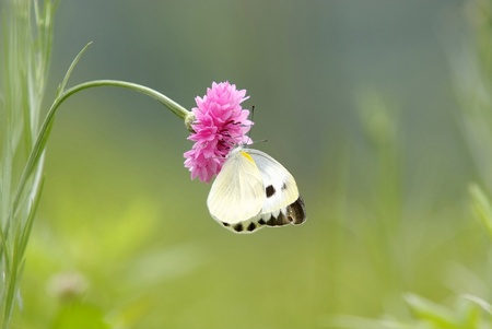 Cornflower with butterfly photo