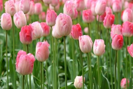 pink tulip flowers Stok Fotoğraf - 9994488