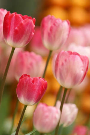 pink tulip flowers photo