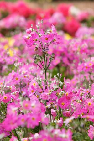 Garden verbena flower photo