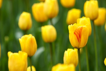 Yellow tulip flower bed Stock Photo