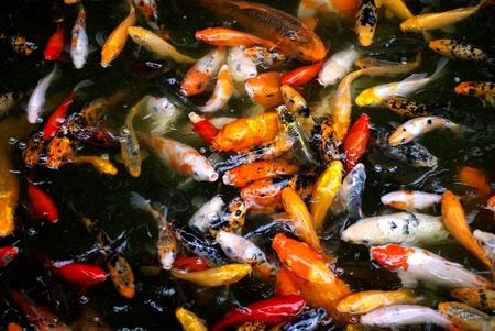 koi carp fishes in water Stock Photo - 10105676