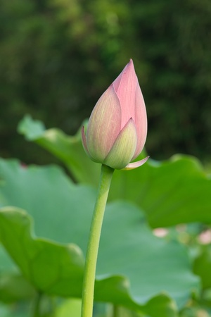 lotus pond photo