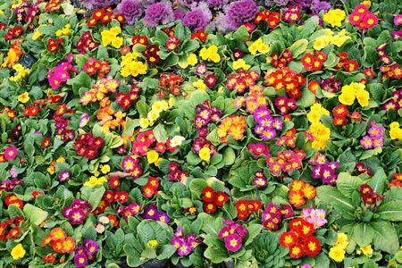 flowerbed: Colorful primula acaulis flowerbed Stock Photo