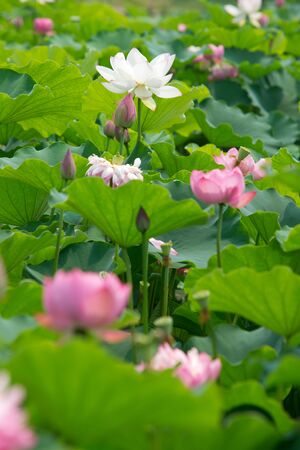 lotus pond scenery Stock Photo - 10419681