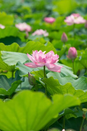 lotus pond scenery Stock Photo - 10431793