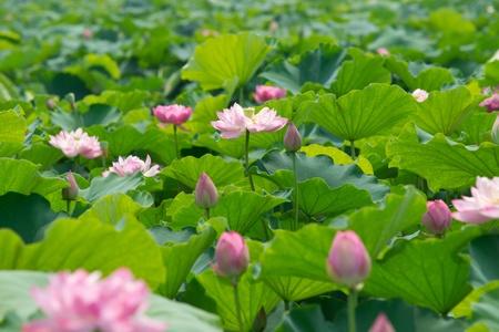 flor de loto: paisajes de estanque de loto