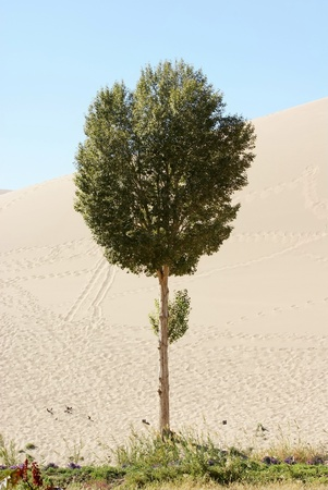 tree with desert background  photo