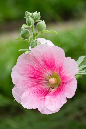 Pink hibiscus flower Stock Photo - 10519449