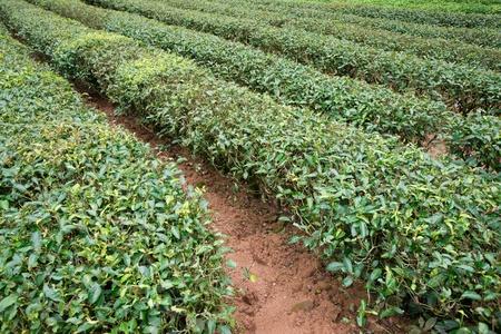 茶耕作, 福建省, 中国 写真素材
