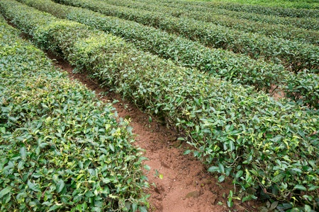tea cropland,fujian province,china Stock Photo